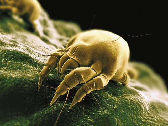 Аллергия на пылевых клещей  у детей и взрослых: почему возникает, как зависит от домашних условий, симптомы, что делать и как происходит лечение