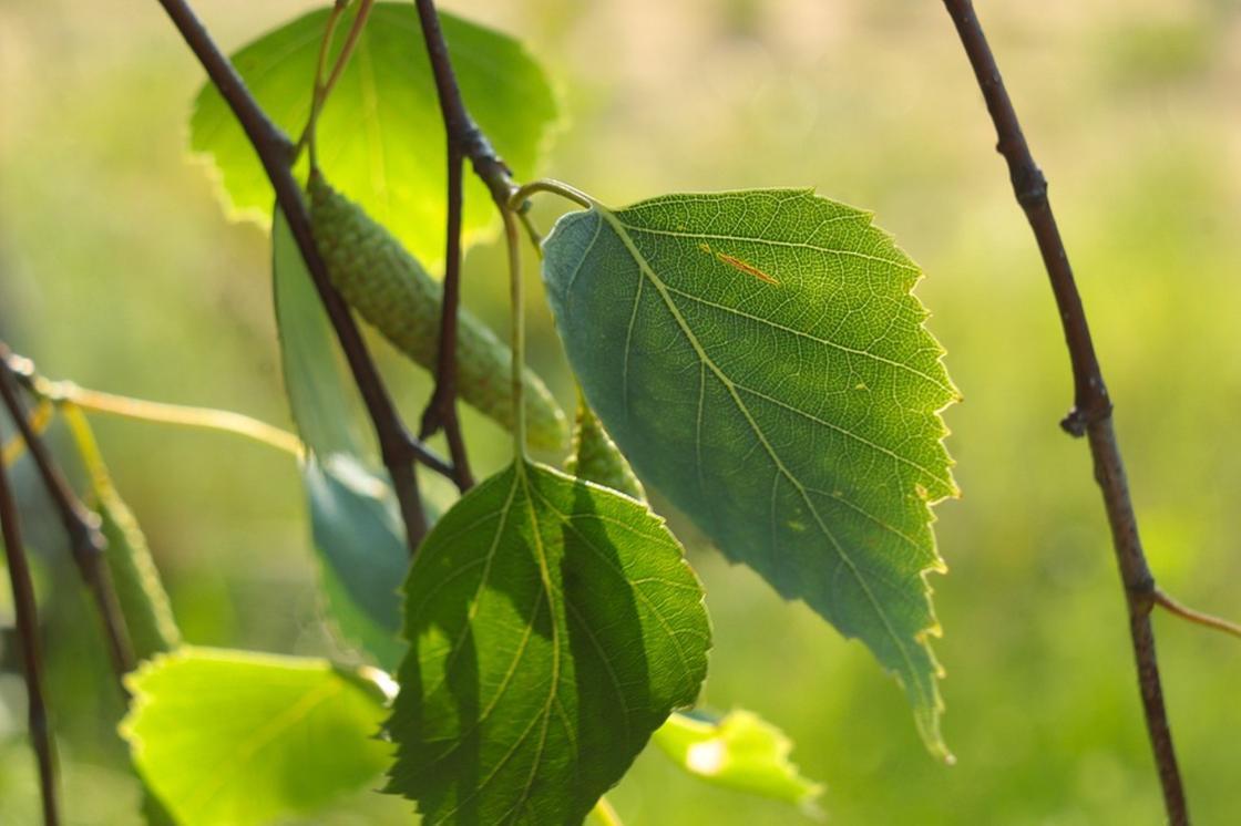 Оказывается листья березы обладают сильным лечебным эффектом
